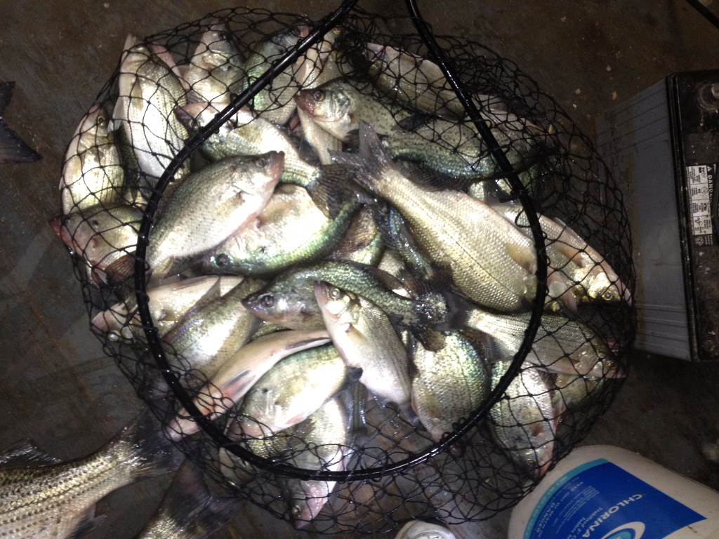 Crappie ready to take home caught on a guided Lake Lewisville fishing trip
