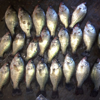 Lots a Crappie ready for the fish fry caught on a guided fishing trip