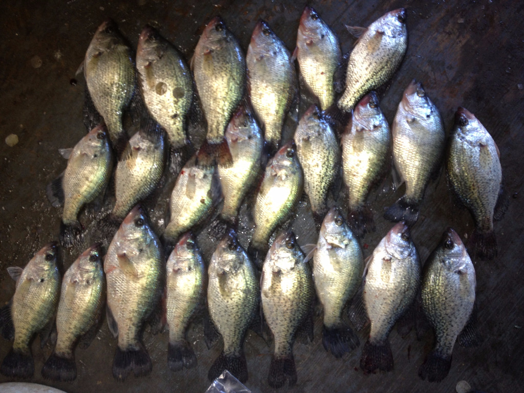 Crappie ready to take home
