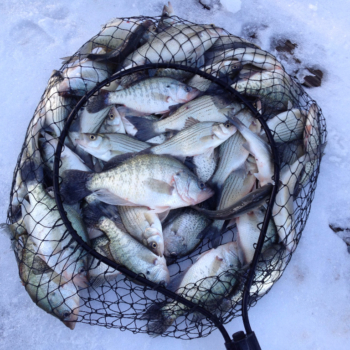 Crappie on a rare snowy day caught on a Lake Lewisville guided fishing trip