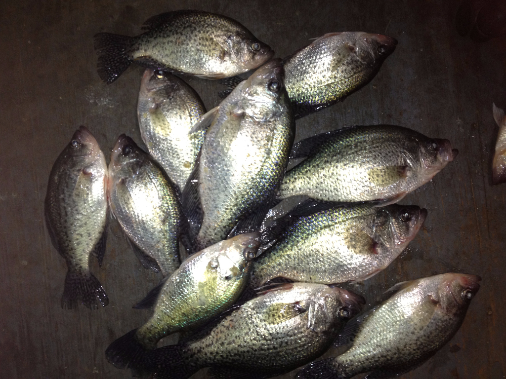 Lots a Crappie ready for the fish fry caught on a guided Lake Lewisville fishing trip