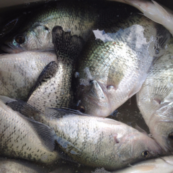 Lake Lewisville Crappie