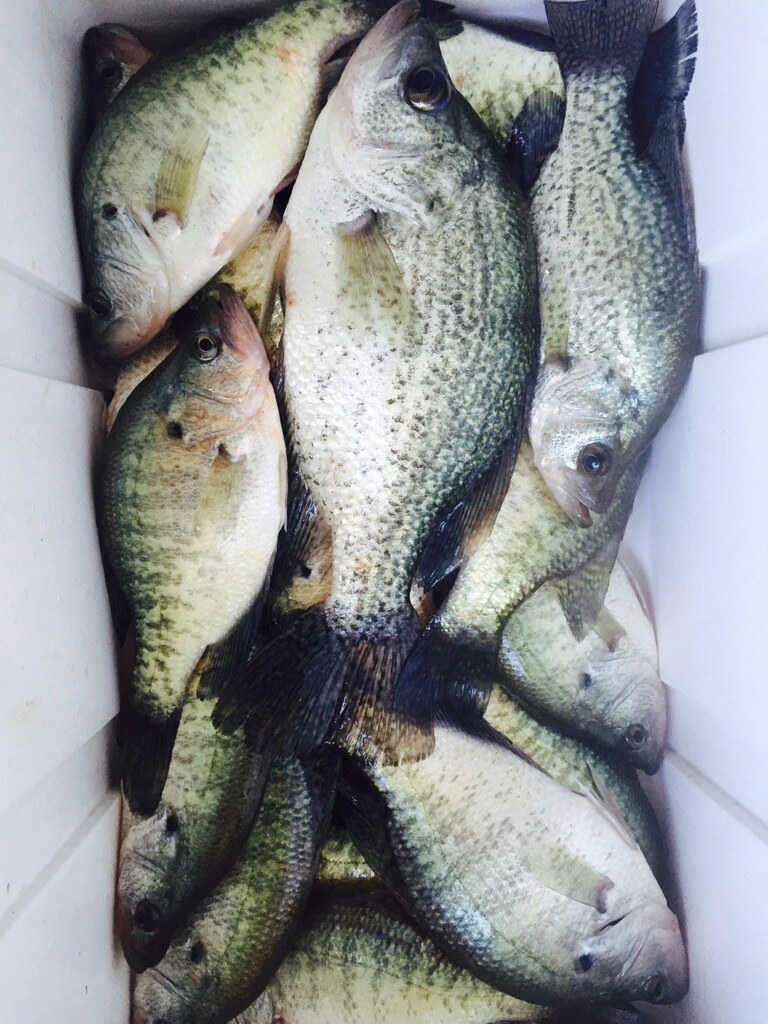 Crappie ready to take home caught with Steve on a Lake Lewisville guided fishing trip.