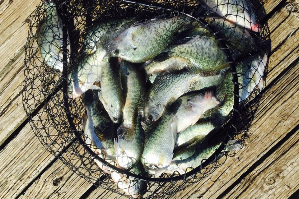 A net full of crappie caught on a Lake Lewisville Guided Fishing Trip